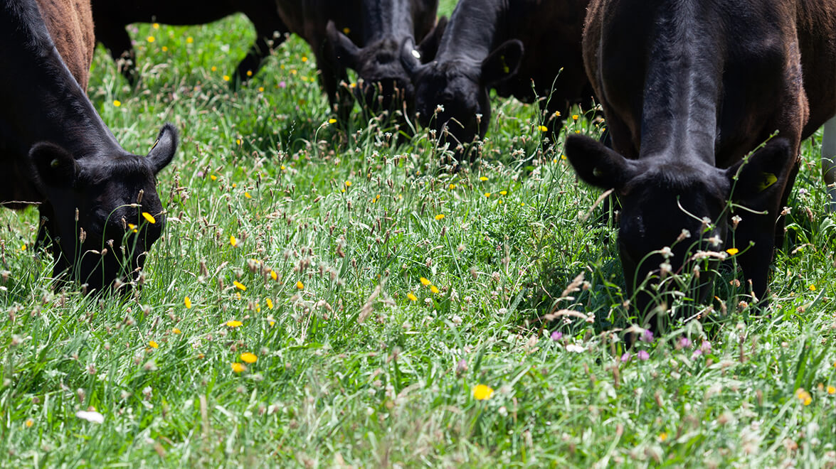ĀTA's bio-diverse grasses make for healthy paddocks year round.