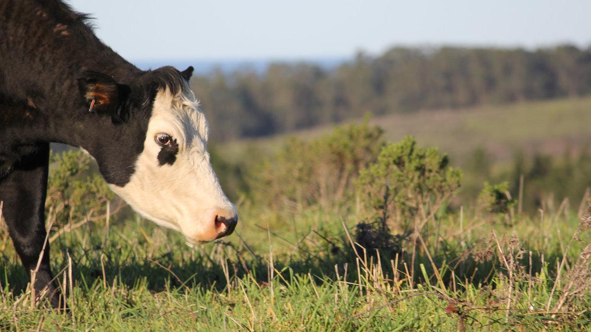 Ata dairy cow