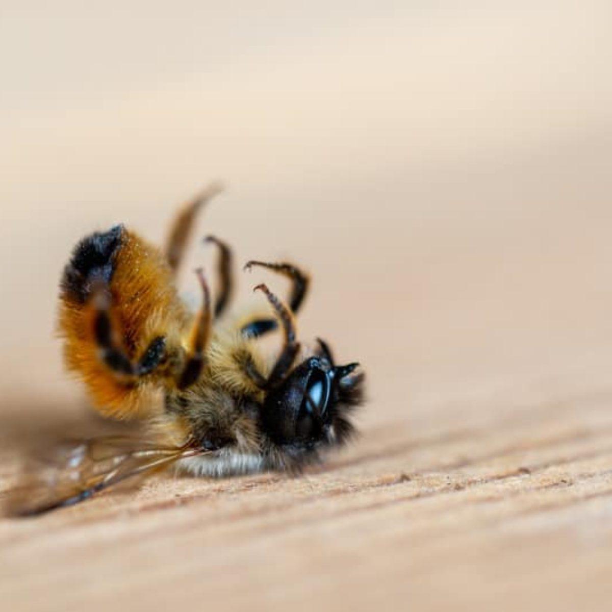 Glyphosate poisoned bee